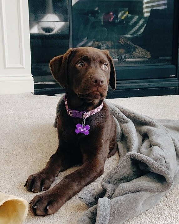 A cute chocolate labrador retriever with green eyes and purple dog collar