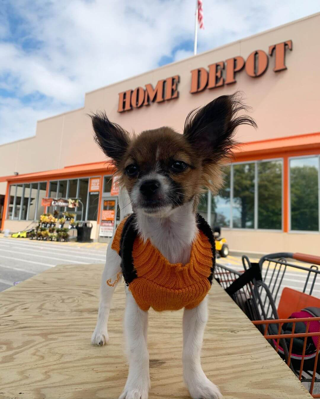 A cute long haired chihuahua dog in front of home depot