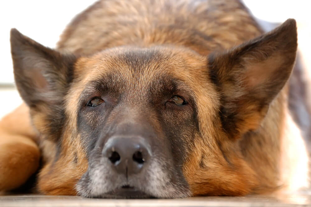 A sick and tired German Shepherd lying down on the ground