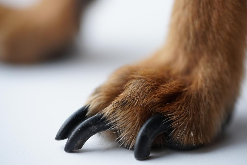Overgrown dark claws in small dog