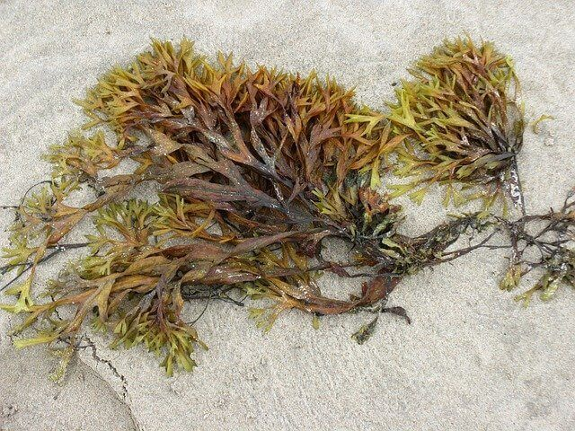 A mix of wet and dried-up seaweed on the seashore