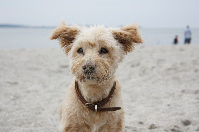 A cute white terrier at the beach with sand on his nose
