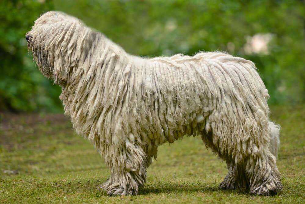 The Komondor, aka the Hungarian sheepdog
