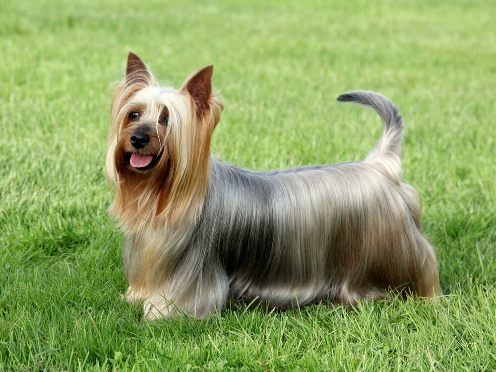 Australian Silky Terrier Dog Breed
