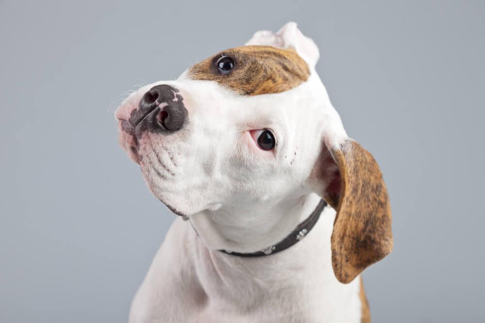 A cute american bulldog puppy