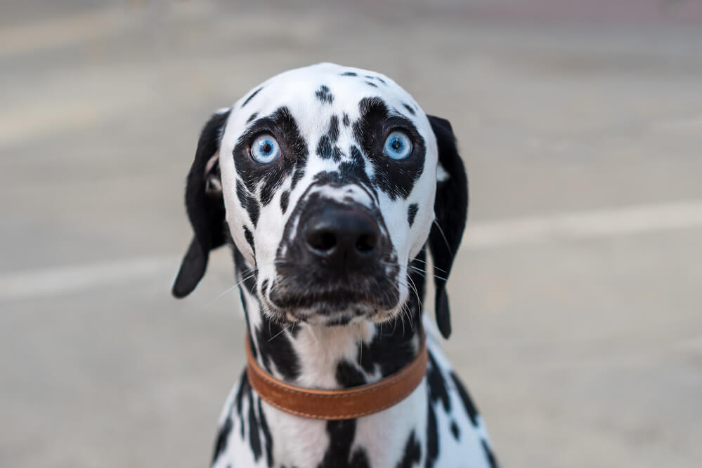 Dalmation dog with blue eyes