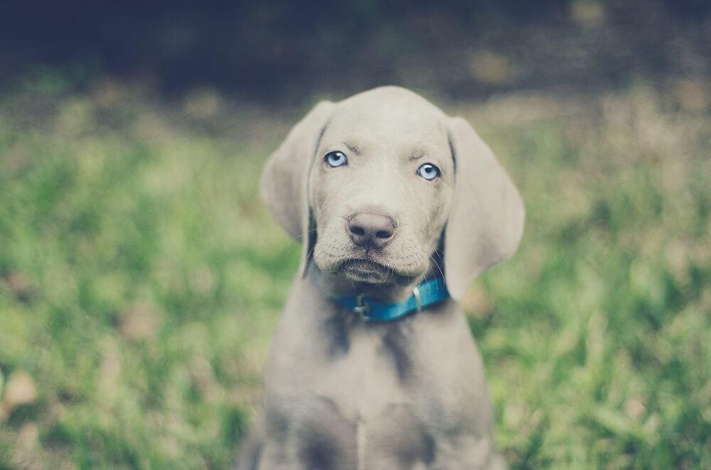 Dog breeds with blue eyes