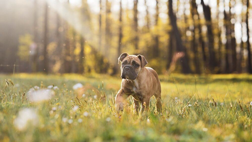A boxer dog puppy playing in the grass