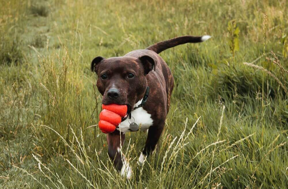 Brindle Staffordshire Bull Terrier running through fields with Kong chew in his mouth