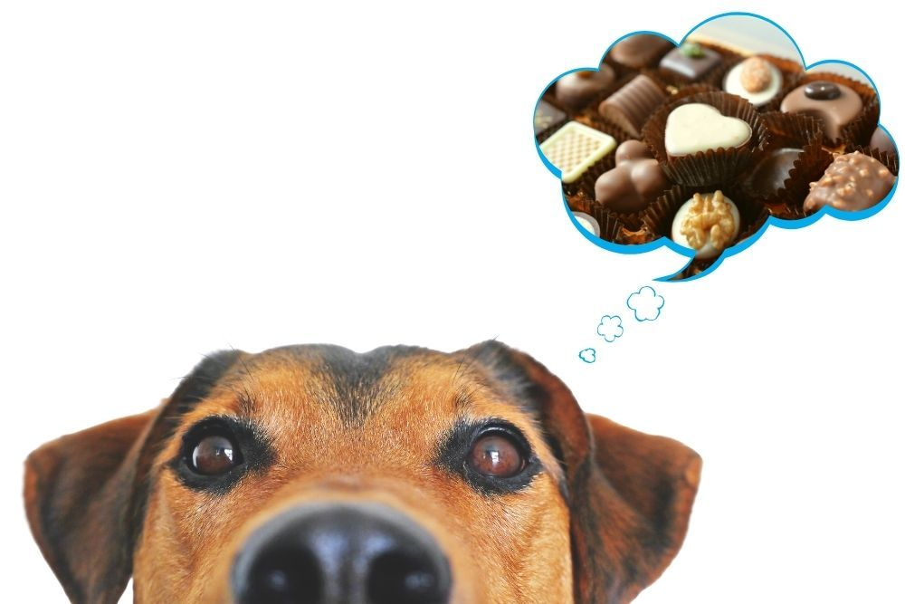 Dog eating various types of chocolate