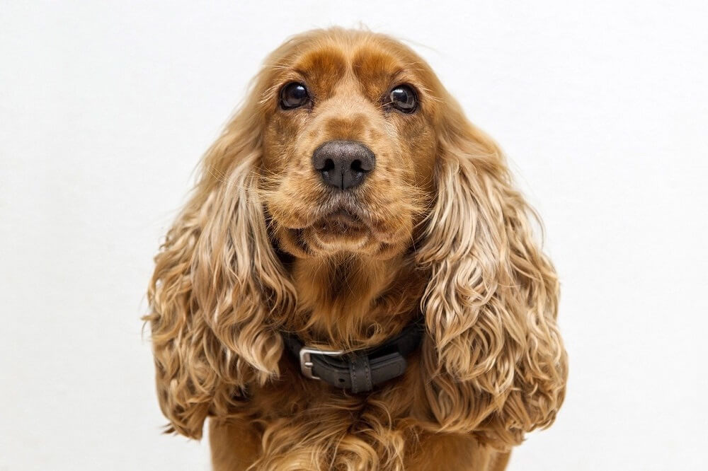A cocker spaniel dog - dogs that don't run away!