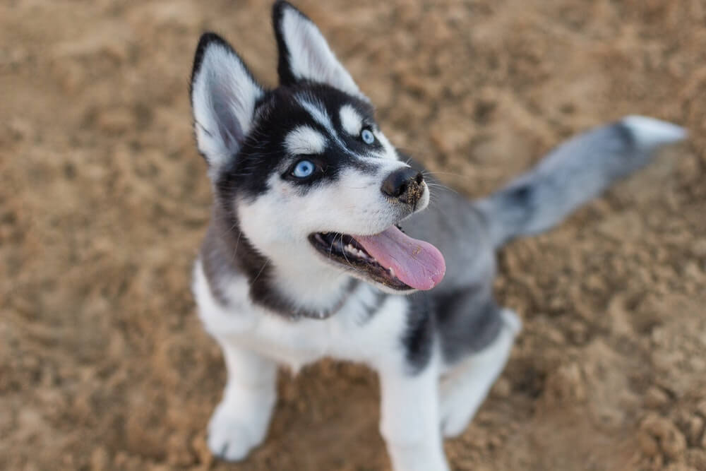 Cute dog names for Siberian Husky Puppies