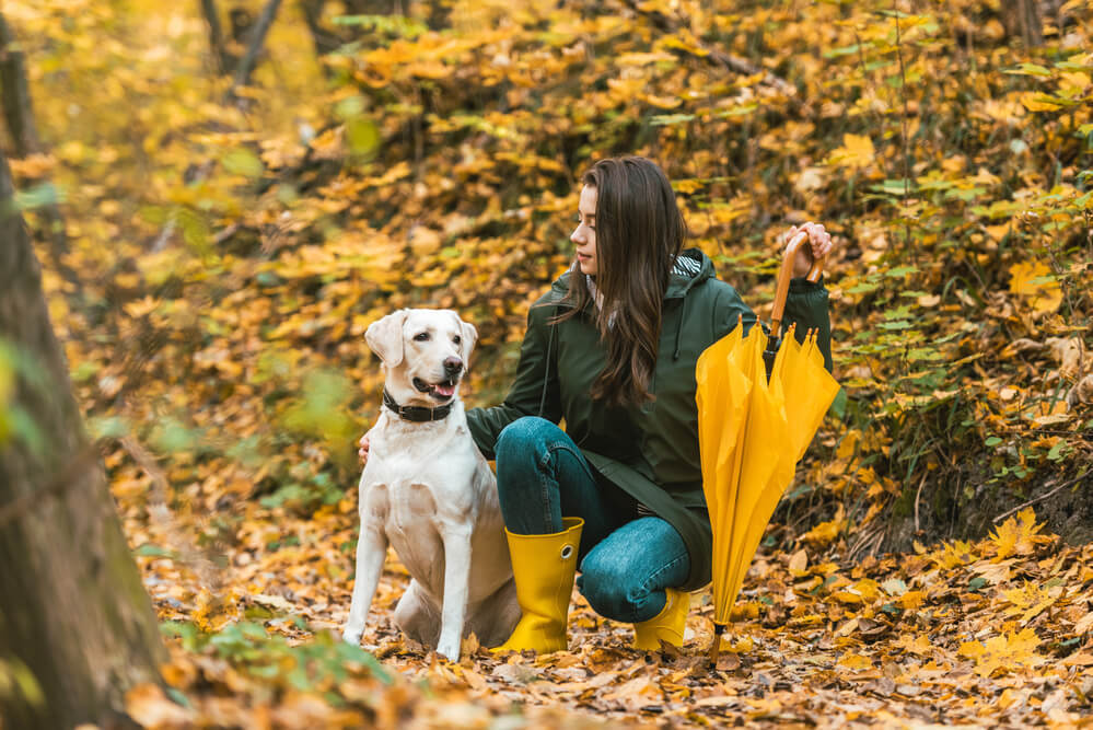A labrador retriever off leash walking in the forest with owner
