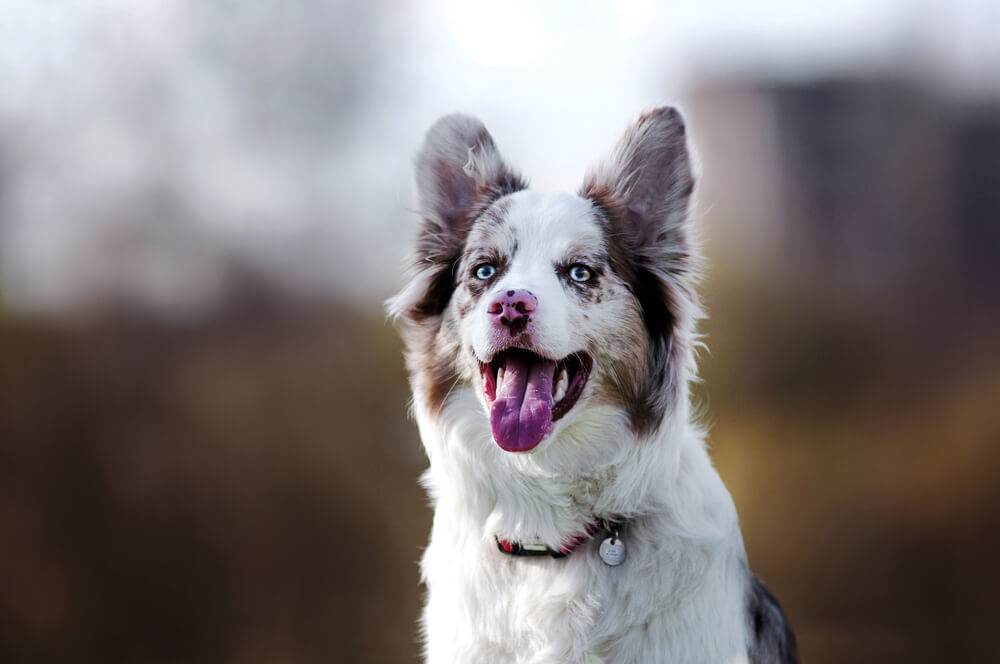 Merle Border Collie