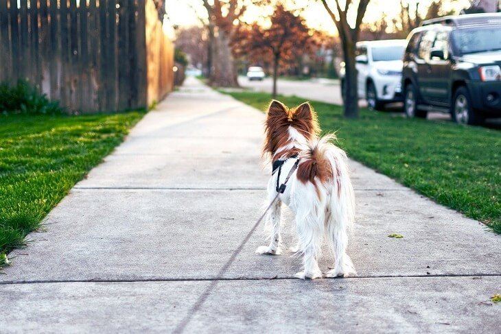 Papillon leash walking with owner on the street