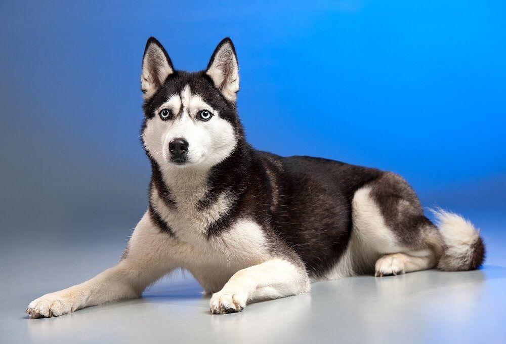 Names for male Husky dog breeds