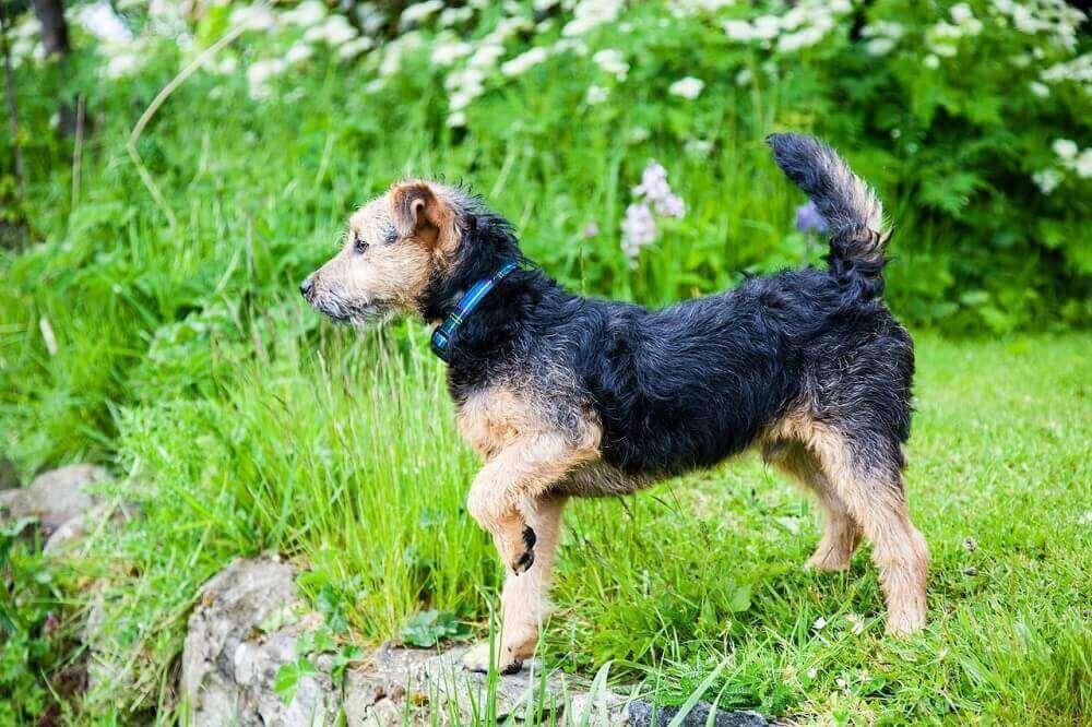 Lakeland Terrier dog breed