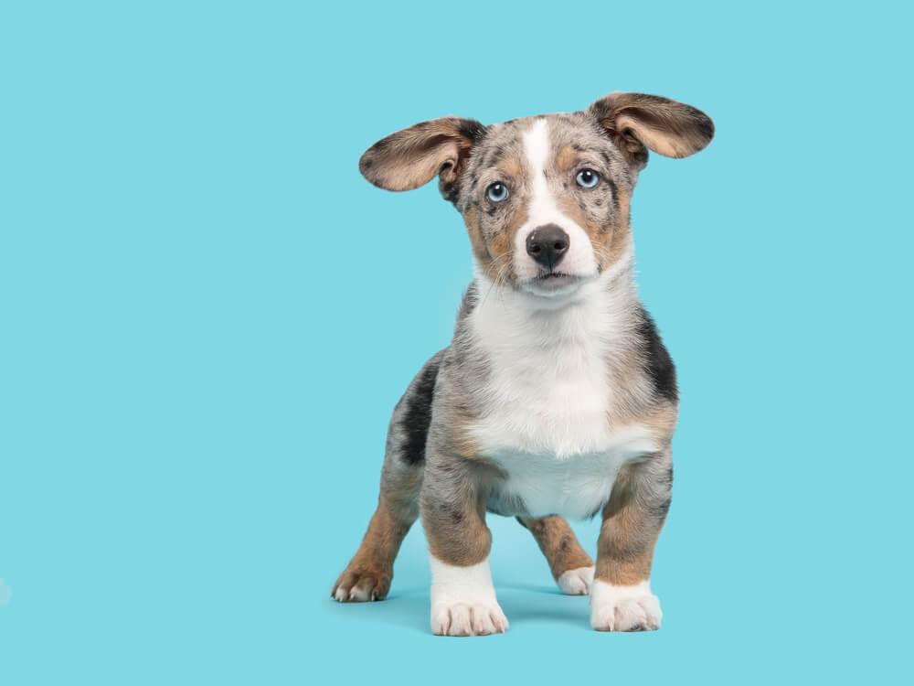 Blue eyed corgi puppy