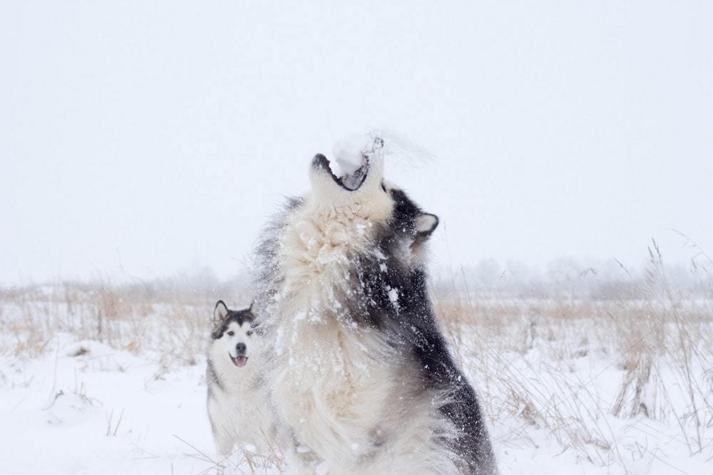 Names for Husky dog breeds