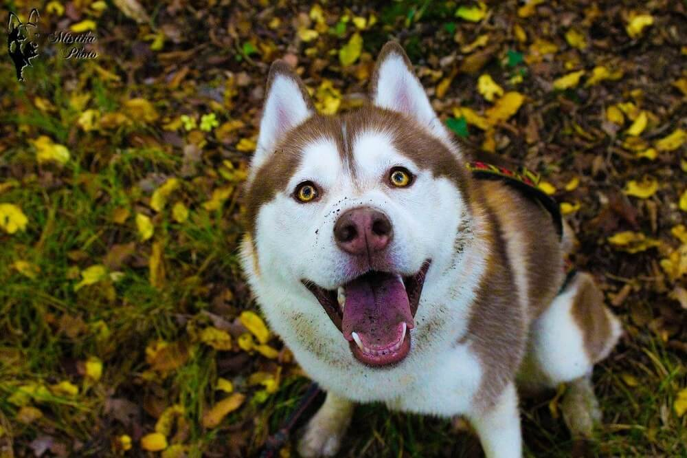 Names for white and chocolate husky dogs