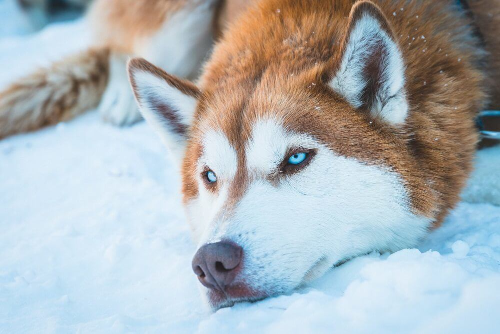 Blue eyed dog breeds