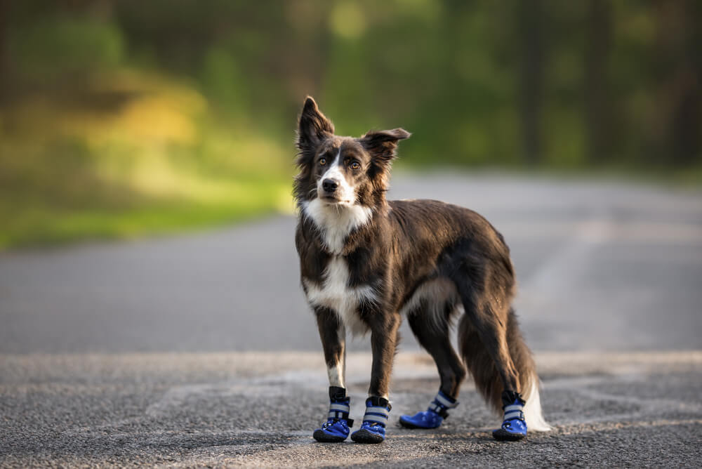 Border Collie wearing hiking dog boots