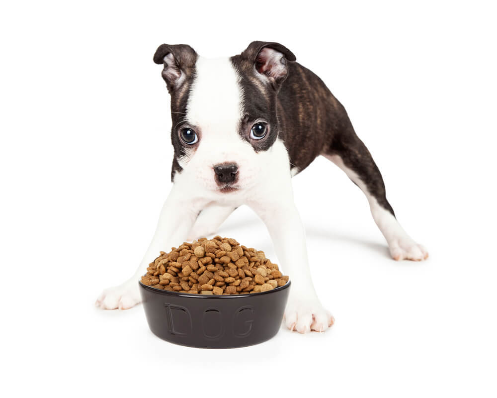 A Boston Terrier Puppy Eating Kibble From Bowl