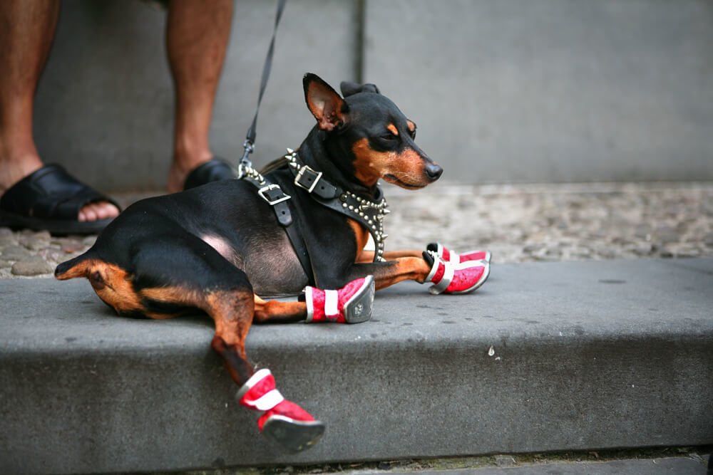 A chihuahua dog relaxing on lead with owner wearing dog boots