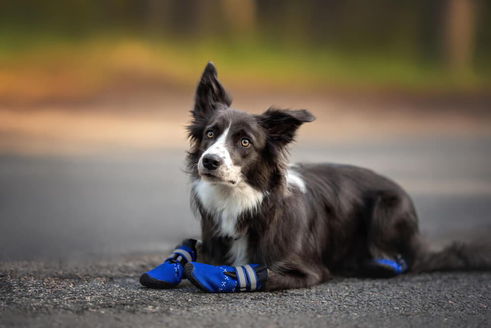 A border collie wearing blue dog booties