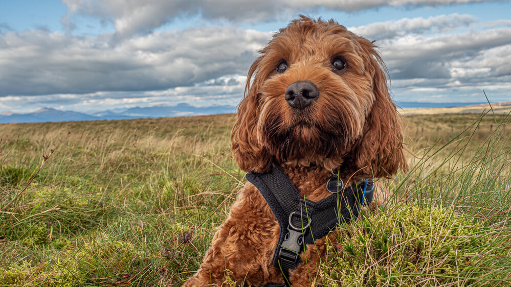 A young Cockapoo wearing a harness sitting in the grass