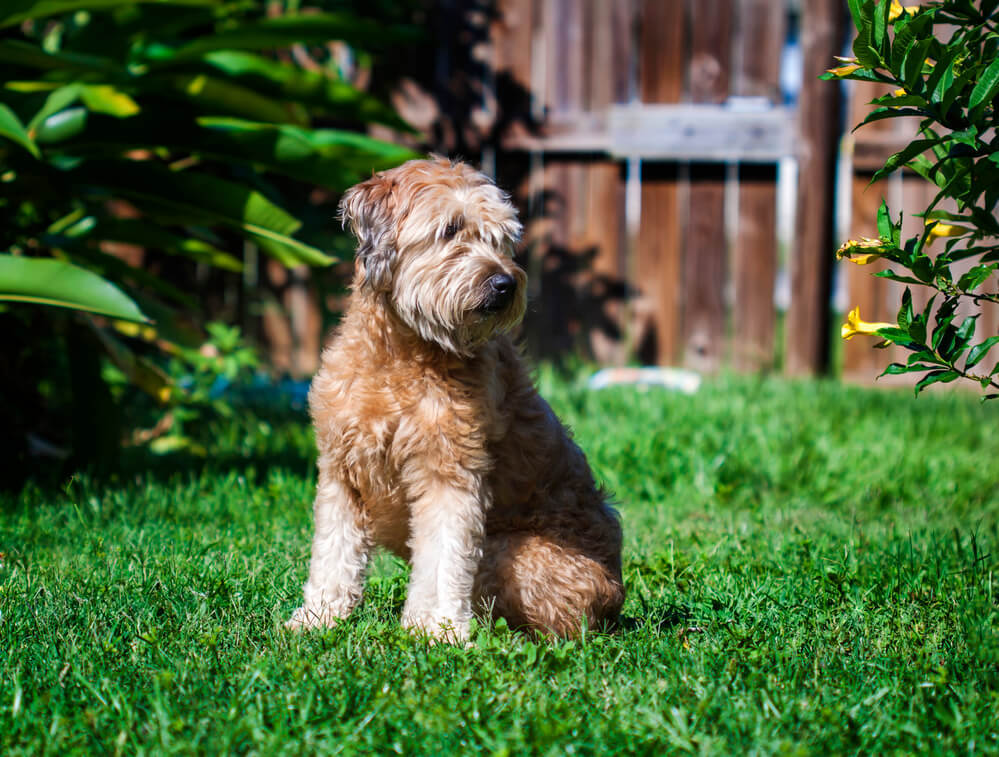 A goldendoodle mixed breed dog sitting on the grass