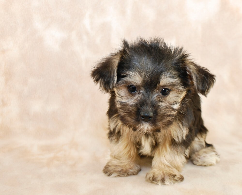 A cute Morkie puppy dog