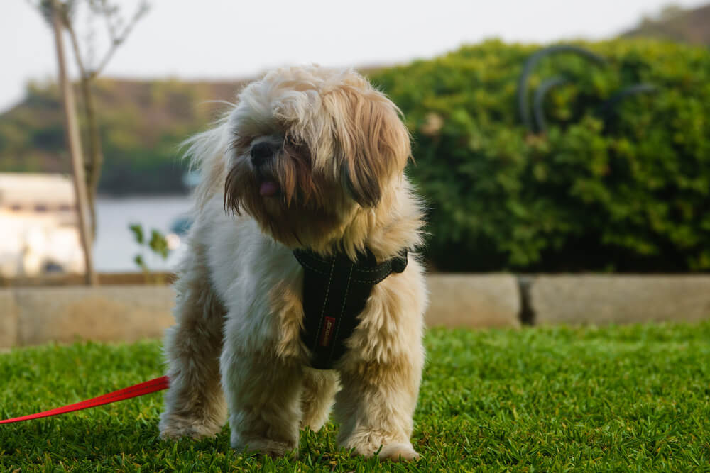 A brown shih poo in the outdoors