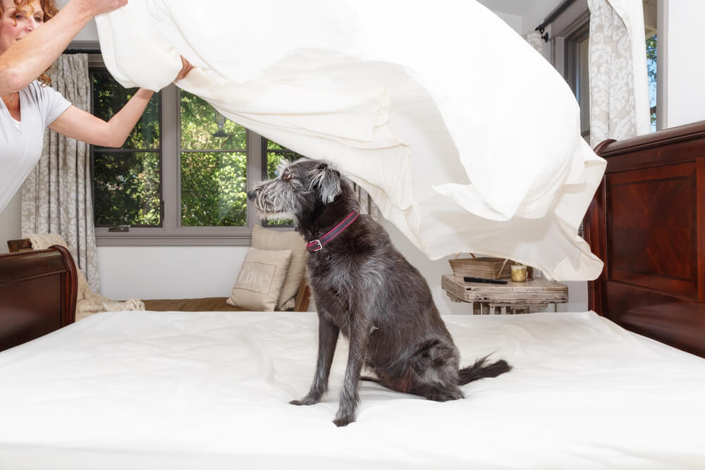 A cute dog sitting on the bed as owner trying to change bedsheets