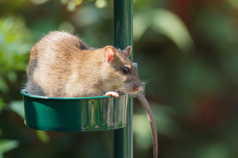 A brown rat eating seeds in a bird feeder in a garden