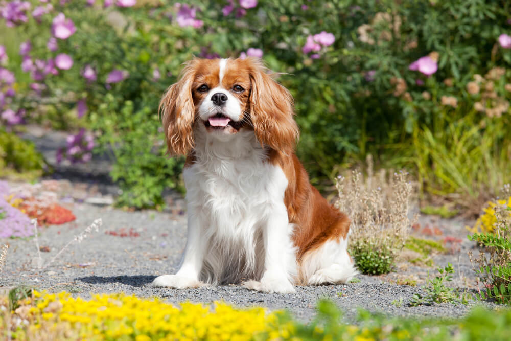 A red and white King Charles toy spaniel adult dog