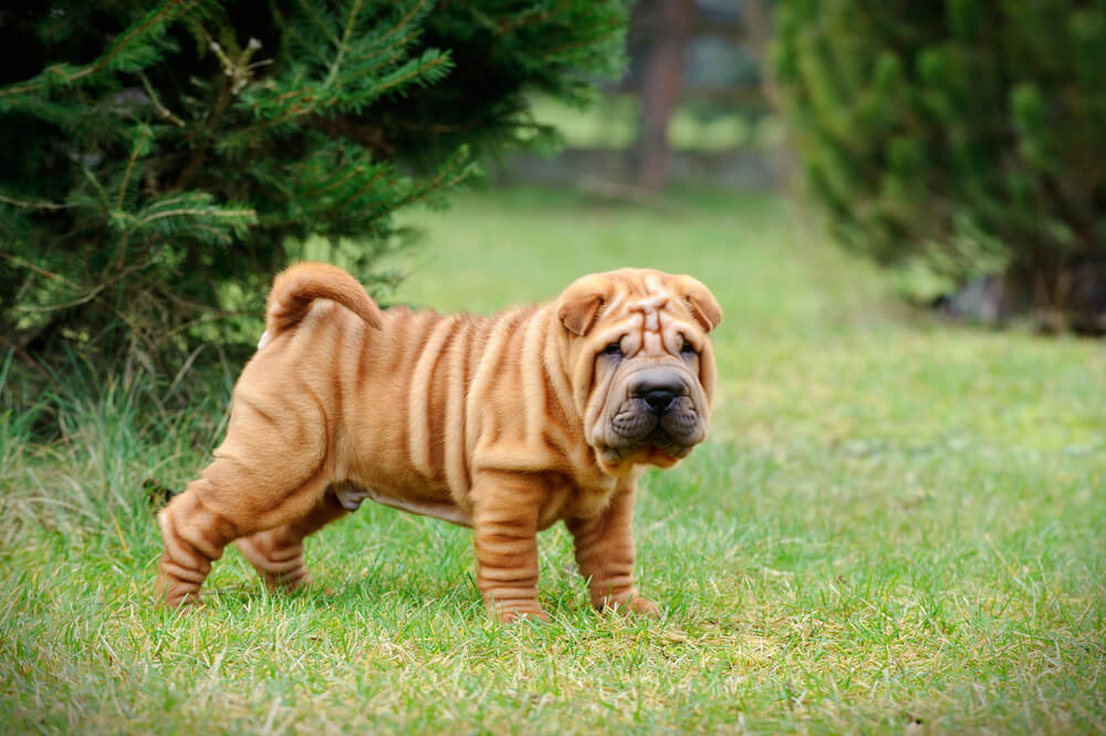 A Chinese Shar Pei puppy in the grass