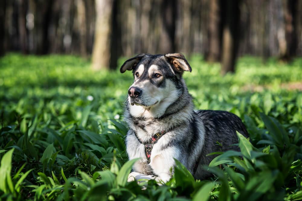 A Czech wolfdog lying on the grass