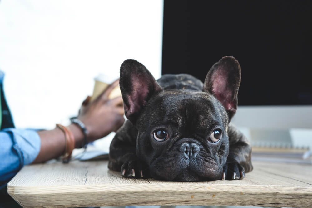A french bulldog looking bored as owner working on laptop.