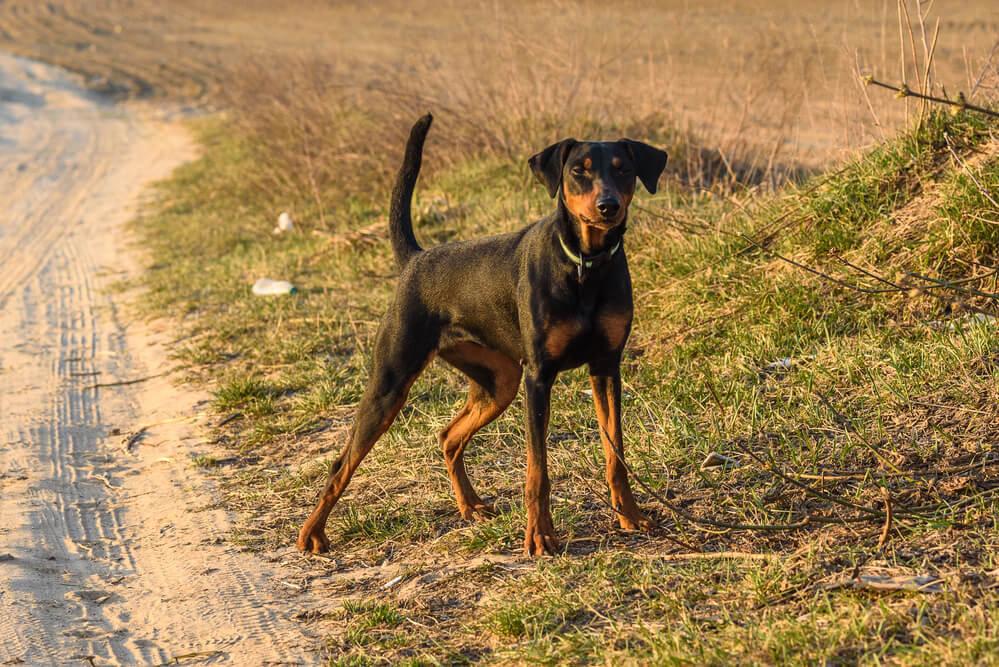 A German Pinscher running and frolicking around outdoors.