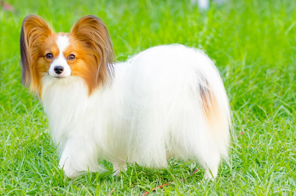 A beautiful papillon dog with a long white silky coat outdoors in the grass