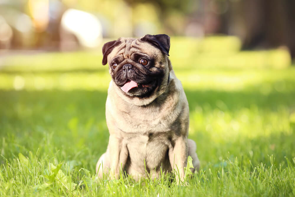 A cute Pug resting on the grass in the park