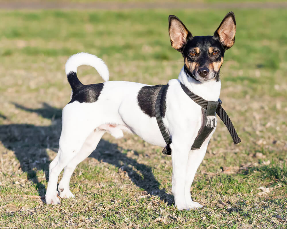 A cute Rat Terrier hunting in the grass.
