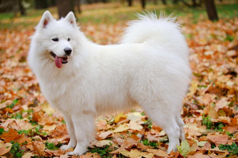 A white Samoyed dog in the park during autumn.