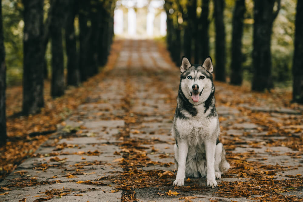 A coyote looking Siberian Husky on a tree lined road in the autumn covered in foliage.
