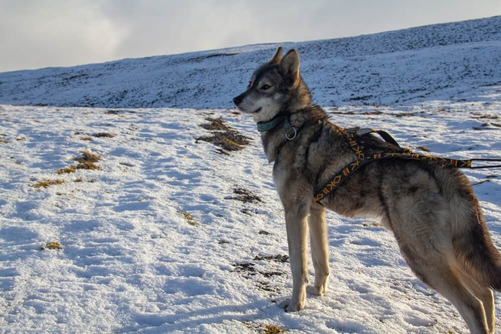 A beautiful wolf like dog - a grey Tamaskan dog in the snow pulling a sleigh