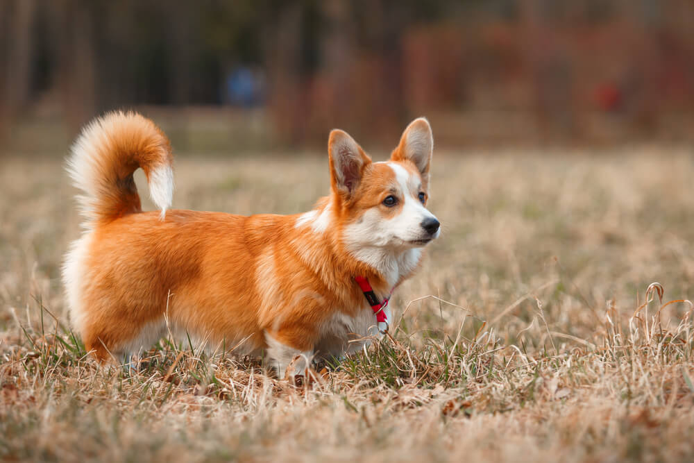 A Welsh Corgi Pembroke running playfully outdoors