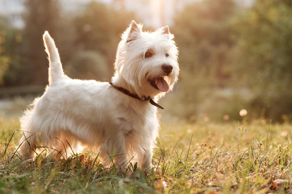 A West Highland White Terrier running through the park.