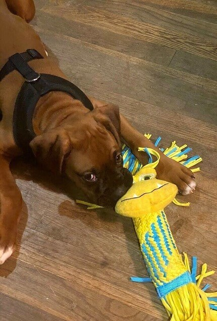 A boxer puppy chewing on a plush tug toy