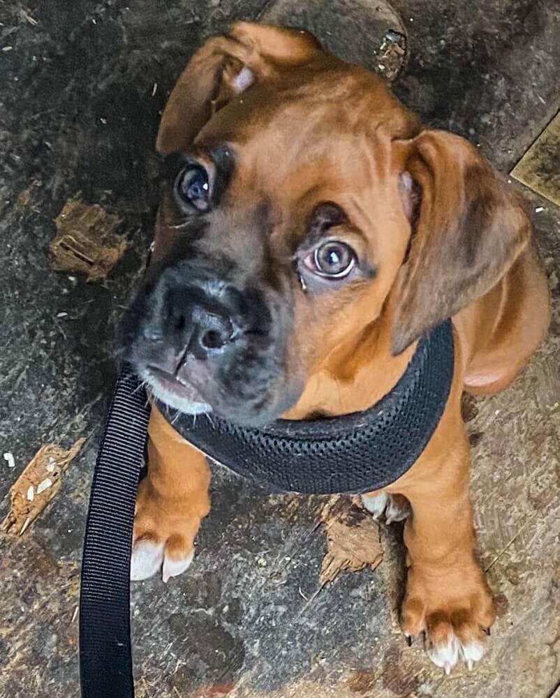 A cute boxer puppy on a dog leash